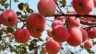 我国已成最大苹果生产国