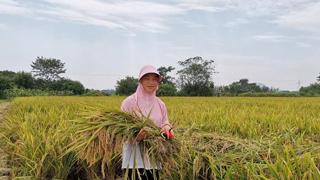 稻菽千重浪 累累秋果香
